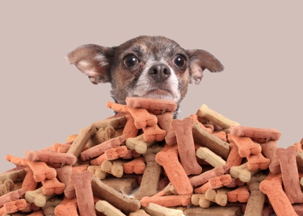 chihuahua with dog treats